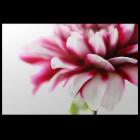 Moments en rose – Dahlie No. 03 von monofaktur